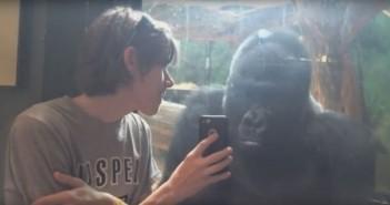 clipul-care-face-senzatie-pe-internet-astazi-ce-face-aceasta-gorila-cand-isi-vede-poza-pe-telefon-video_size1